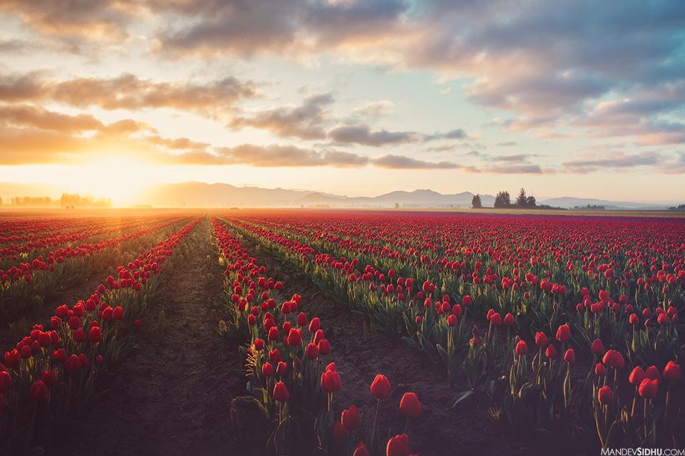 morning sunrise red tulips