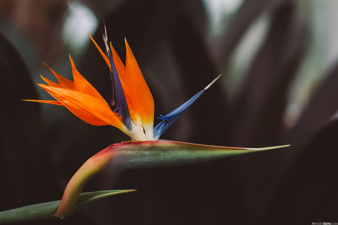 Birds of Paradise Flower